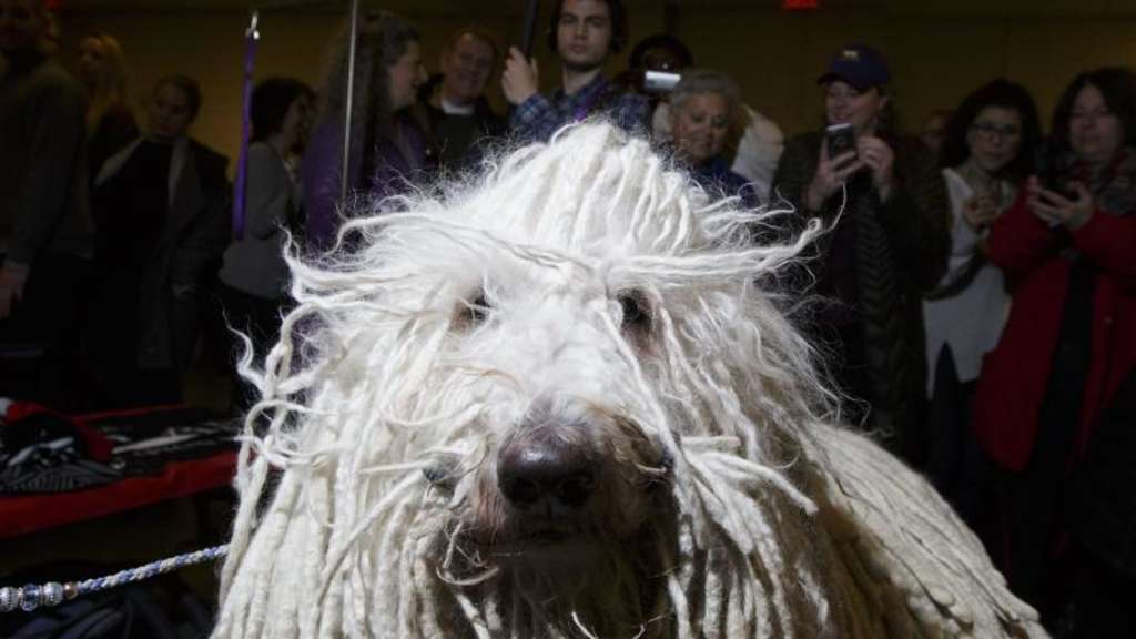 Ein Komondor namens &#39Chauncey&#39 bei der Westminster Kennel Club Dog Show in New York, New York. Foto: Justin lane