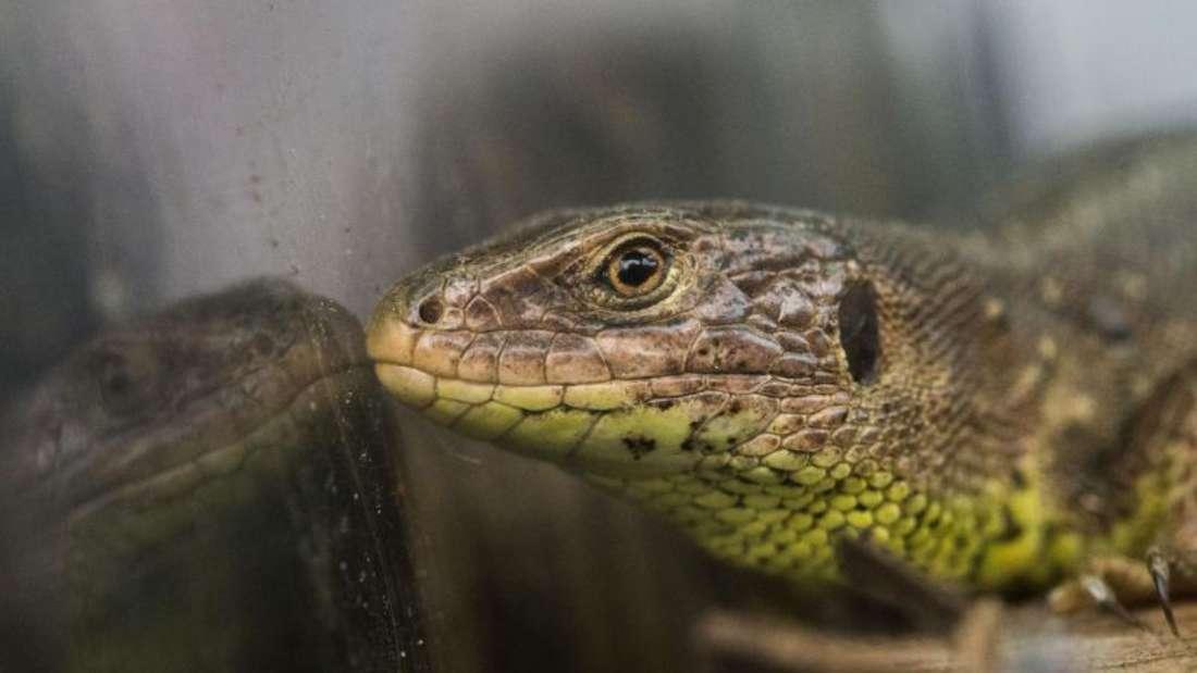 Geschützte Art:Eine Zauneidechse, hier in einem Terrarium. Foto: Lino Mirgeler