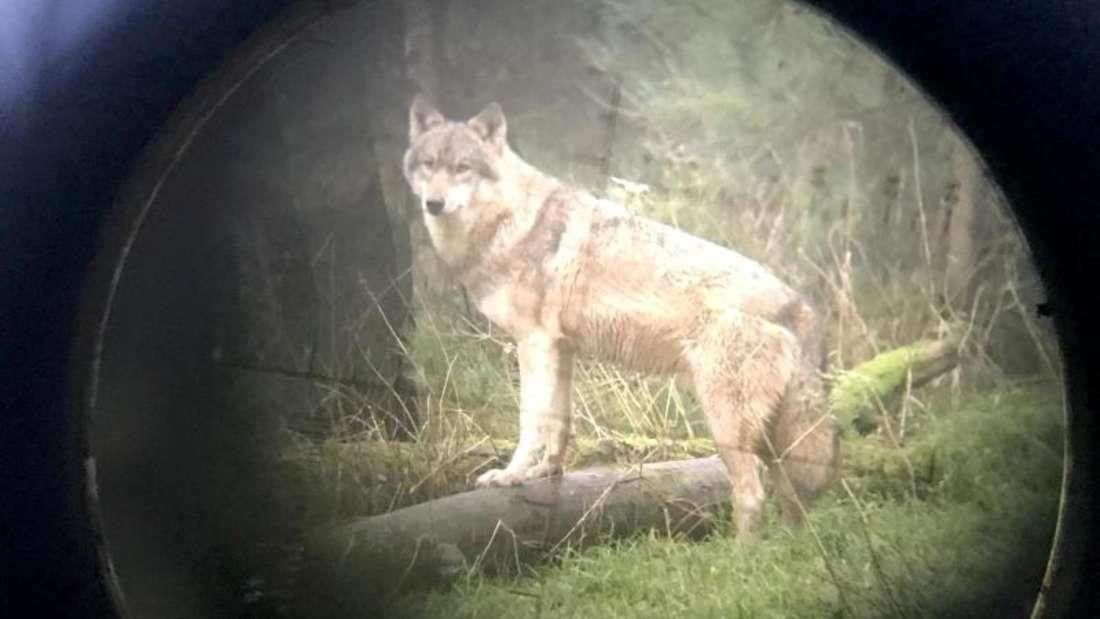 Wolf im Wildpark Eekholt (Fotografiert durch ein Zielfernrohr). Ein für mehrere Schafsrisse hinter wolfssicheren Zäunen im Kreis Pinneberg verantwortlicher Wolf darf abgeschossen werden. Foto: Carsten Rehder