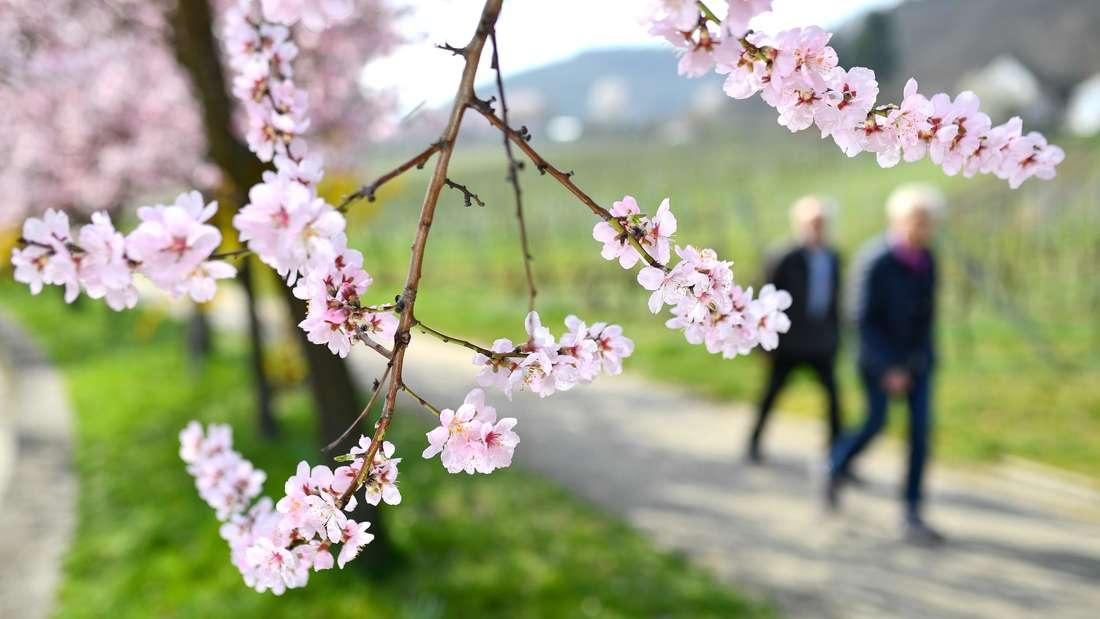 Ein Besucherandrang rund um den Beginn der Mandelblüte in Neustadt-Gimmeldingen soll verhindert werden.