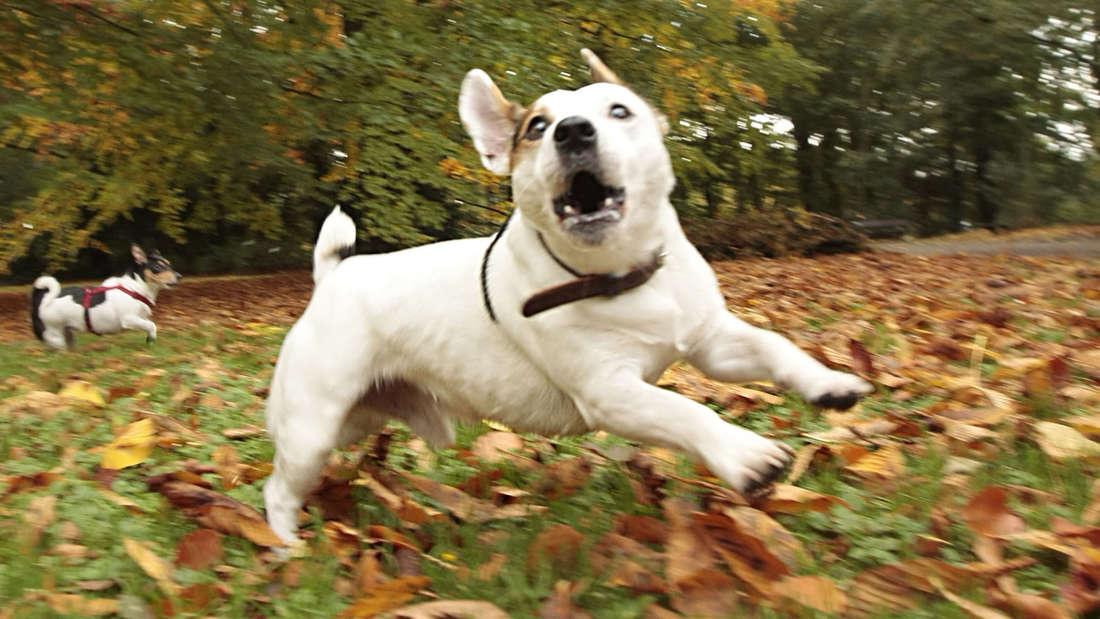 Eine Frau hat ihren Jack Russell Terrier in Ludwigshafen auf eine Briefträgerin gehetzt, der sofort zugebissen hat. (Symbolfoto)